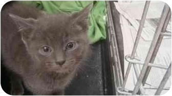 Domestic Shorthair Kitten for adoption in Youngwood, Pennsylvania - Smokey