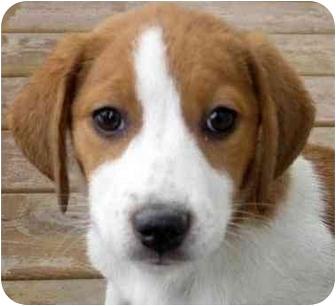 Beagle/Australian Shepherd Mix Puppy for adoption in Chicago, Illinois - Ember