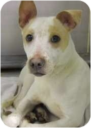 Pit Bull Terrier Mix Dog for adoption in Olathe, Kansas - Twix