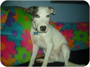 Fox Terrier (Smooth)/Labrador Retriever Mix Dog for adoption in Naples, Florida - Dexter