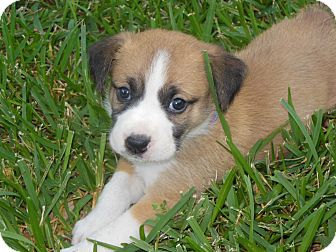 St. Bernard Mix Puppy for adoption in Houston, Texas - Sunny