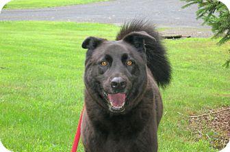 Labrador Retriever/Chow Chow Mix Dog for adoption in Stroudsburg, Pennsylvania - Charlie