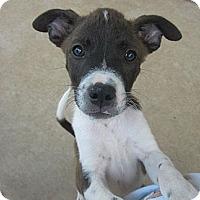 Adopt A Pet :: Lewis - Arlington, TX