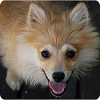 Adopt A Pet :: Grant - New Milford, CT