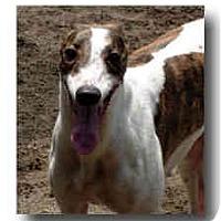 Adopt A Pet :: Nod - Roanoke, VA