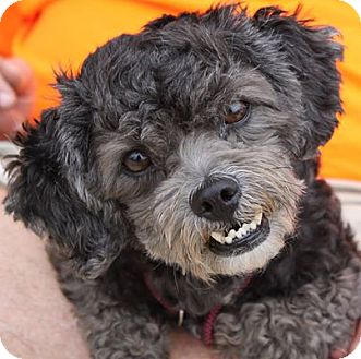 Poodle (Miniature)/Terrier (Unknown Type, Medium) Mix Dog for adoption in Staunton, Virginia - Bandit