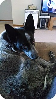 Australian Cattle Dog Dog for adoption in Manhattan, Kansas - Bandit