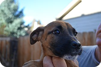 Shepherd (Unknown Type) Mix Puppy for adoption in Westminster, Colorado - Gabby