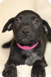 Plott Hound Mix Puppy for adoption in Waldorf, Maryland - Whiskey