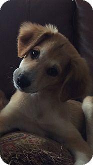 Collie Mix Puppy for adoption in Cambridge, Ontario - Rosie