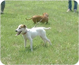 Jack Russell Terrier Dog for adoption in Katy, Texas - Foxie