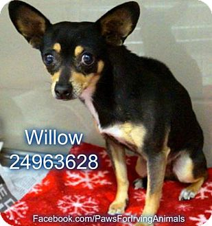 Chihuahua/Manchester Terrier Mix Dog for adoption in Clinton, Oklahoma - Willow