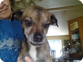 Chihuahua Mix Dog for adoption in Idaho Falls, Idaho - Big John