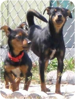 Miniature Pinscher Dog for adoption in Coral Springs, Florida - Benny