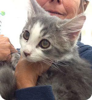 Domestic Longhair Kitten for adoption in Warren, Ohio - Ellie