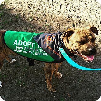 Boxer/Staffordshire Bull Terrier Mix Dog for adoption in Newport Beach, California - Tigger