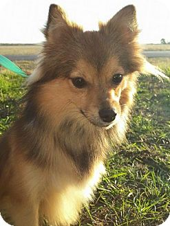 Pomeranian Puppy for adoption in Staunton, Virginia - Tippy