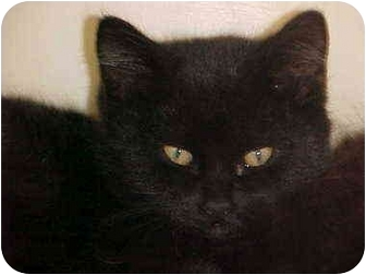 Domestic Shorthair Kitten for adoption in Burnsville, North Carolina - Darkness