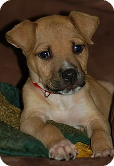 Boxer/Beagle Mix Puppy for adoption in Hagerstown, Maryland - Crowley