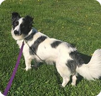 Border Collie Mix Dog for adoption in New Oxford, Pennsylvania - Tillie