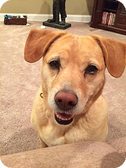 Labrador Retriever/Beagle Mix Dog for adoption in Brattleboro, Vermont - Ellie