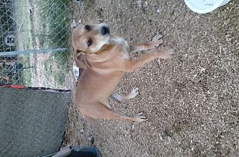Labrador Retriever/Boxer Mix Dog for adoption in Wytheville, Virginia - Izzy
