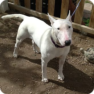 Bull Terrier Dog for adoption in Los Angeles, California - Dina