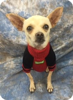 Chihuahua Mix Dog for adoption in Lake Elsinore, California - Clifford