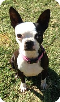 Boston Terrier Dog for adoption in Watauga, Texas - Gisele