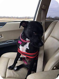 Pit Bull Terrier Mix Dog for adoption in Wichita, Kansas - Daphne