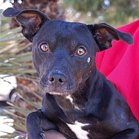 Adopt A Pet :: Pete - Las Vegas, NV