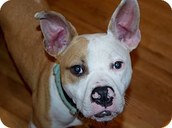 Boxer/Basenji Mix Dog for adoption in Parsippany, New Jersey - MICKEY
