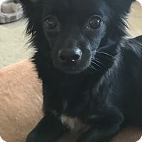 Adopt A Pet :: Penny Lane - Las Vegas, NV
