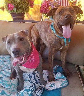Staffordshire Bull Terrier Mix Dog for adoption in Toluca Lake, California - Penelope