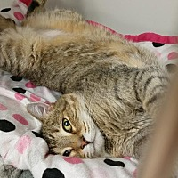 Adopt A Pet :: Ember - West Cornwall, CT