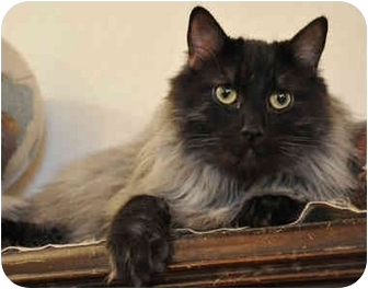 Maine Coon Cat for adoption in Davis, California - Phineas