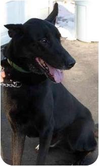 German Shepherd Dog Mix Dog for adoption in South Euclid, Ohio - Nelson