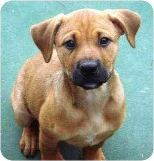 Boxer Mix Puppy for adoption in El Cajon, California - boxer mix
