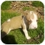 Photo 3 - American Staffordshire Terrier Puppy for adoption in Charlotte, North Carolina - Jupiter