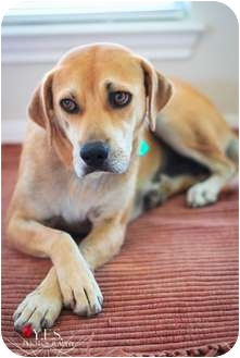 Labrador Retriever Mix Dog for adoption in Austin, Texas - Macy