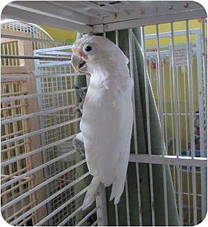 Cockatoo for adoption in Edgerton, Wisconsin - Bogie