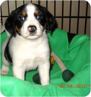 Beagle Mix Puppy for adoption in Naugatuck, Connecticut - Tanner