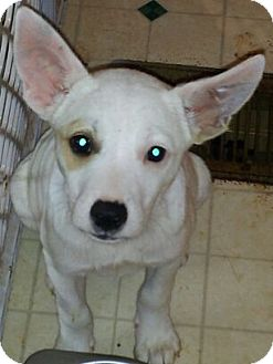 Rat Terrier/Jack Russell Terrier Mix Puppy for adoption in Baltimore, Maryland - Snooki