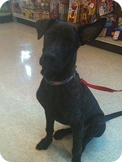 Labrador Retriever/Great Dane Mix Dog for adoption in Phoenix, Arizona - Jax