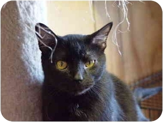 Domestic Shorthair Cat for adoption in Mason City, Iowa - Salem