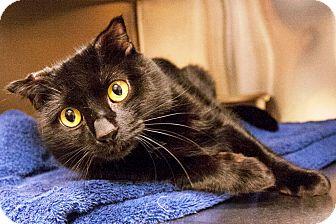 Bombay Cat for adoption in Worcester, Massachusetts - Shugga