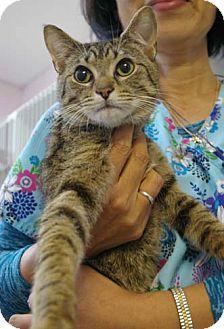 Domestic Shorthair Cat for adoption in Merrifield, Virginia - Lance