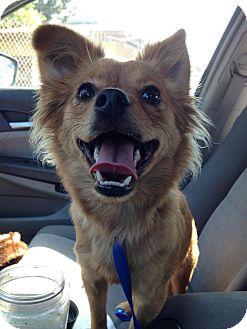 Pomeranian/Spaniel (Unknown Type) Mix Dog for adoption in Encino, California - Jenny