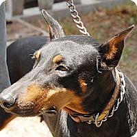 Adopt A Pet :: Georgia - Sun Valley, CA