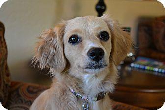 Cocker Spaniel Mix Dog for adoption in Chandler, Arizona - Jasmine